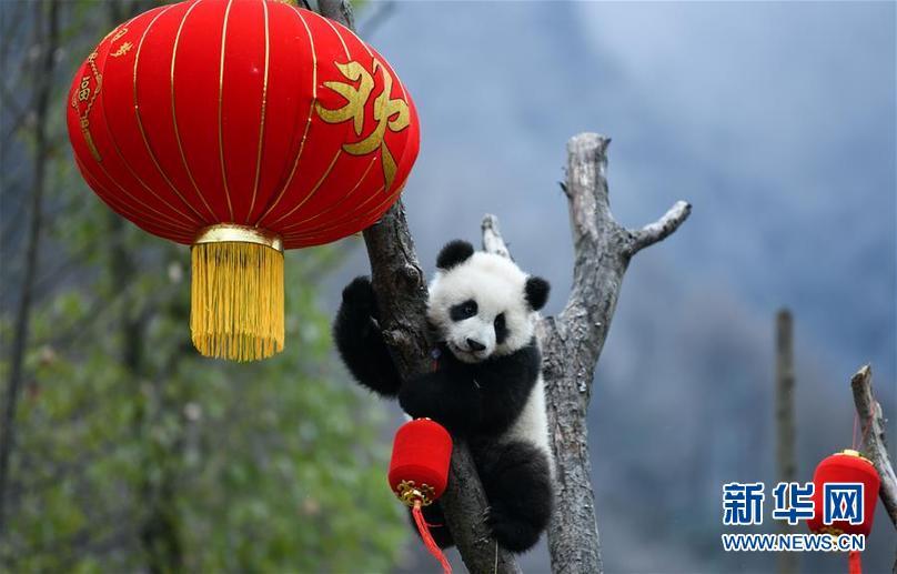 (社会)(6)大熊猫宝宝贺新春