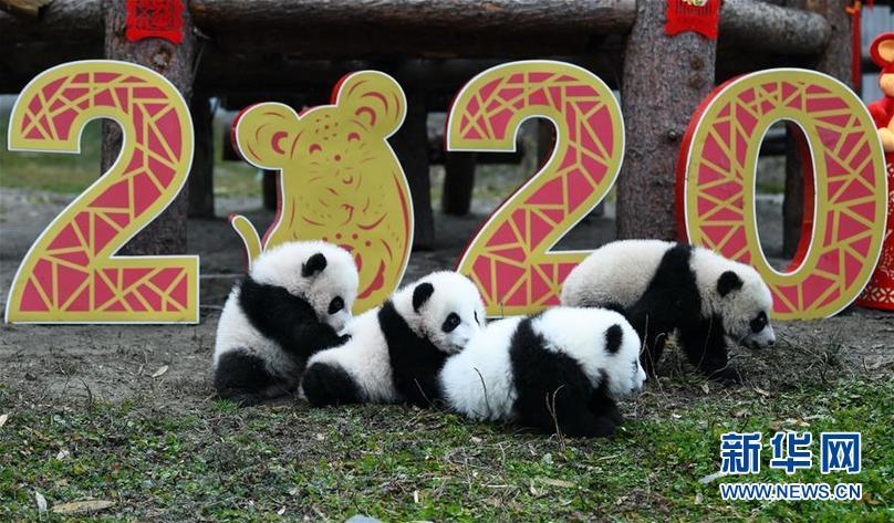 (社会)(7)大熊猫宝宝贺新春