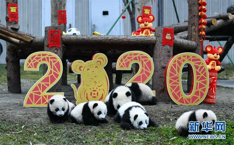 (社会)(2)大熊猫宝宝贺新春